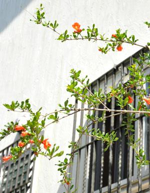 ザクロの木 花